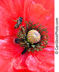 beautiful flower of red poppy and bee - image of the...