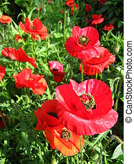 beautiful flower of red poppy - image of the beautiful red...