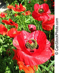 beautiful flower of the red poppy - image of the beautiful...