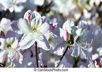 Beautiful flower rhododendron closeup