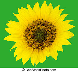 beautiful flower sunflowers on green background