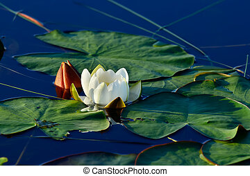Beautiful flower water Lily