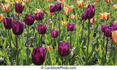 Beautiful flowerbed with colorful tulips. Spring flowering.
