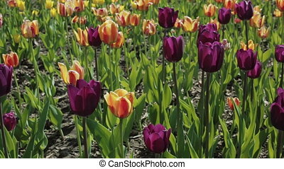 Beautiful flowerbed with colorful tulips.