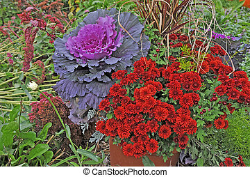 Beautiful flowering Cabbage and Mums