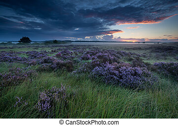 beautiful flowering heather on marsh at sunrise, Fochteloerveen, Drenthe, Friesland, Netherlands