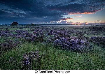 beautiful flowering heather at sunrise - beautiful flowering...
