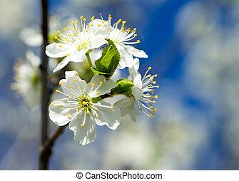 Beautiful flowering Japanese cherry - Sakura. Background with fl