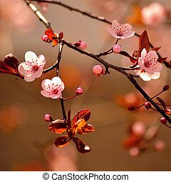 Beautiful flowering Japanese cherry - Sakura. Background with flowers on a spring day.