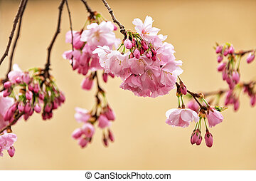 Beautiful flowering Japanese cherry - Sakura. Flowers on a spring day on soft background.