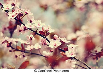 Beautiful flowering Japanese cherry Sakura. Season Background. Outdoor natural blurred background with flowering tree in spring sunny day.