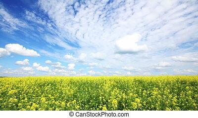 beautiful flowering rapeseed field