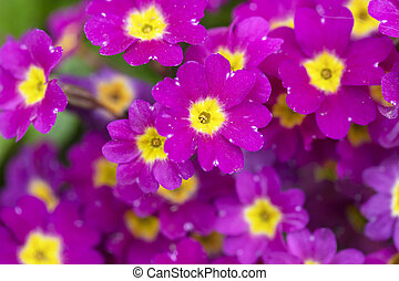 Beautiful flowers. Close-up of a lot of bright pink primroses.