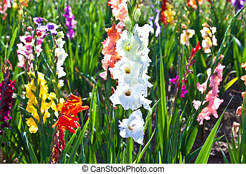 beautiful flowers in the meadow - beautiful gladiolas in the...