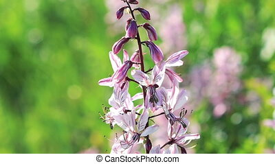 Beautiful flowers in the wind (Dictamnus albus). Slow...