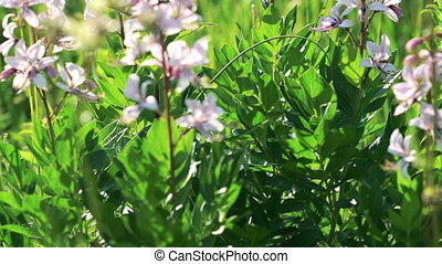 Beautiful flowers in the wind Dittany (Dictamnus albus) in...