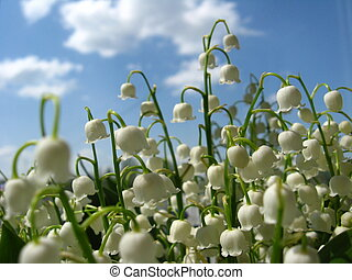 Beautiful flowers of a lily of the - Fine white flowers of a...