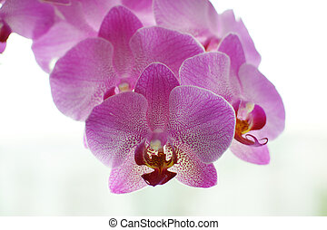 Beautiful flowers of a pink orchid on a white background