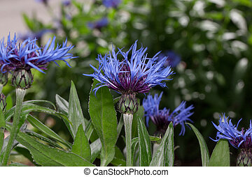 Beautiful flowers of a thistle are growing on a green meadow.