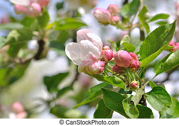 close on nice pink flowers and buds of an apple tree