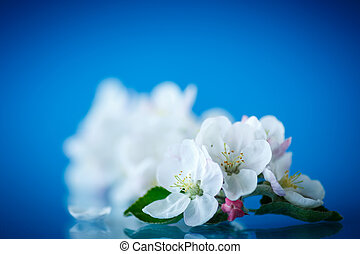 beautiful flowers of apple trees