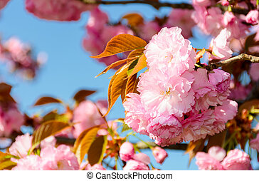 beautiful flowers of cherry blossom on a sunny day. lovely...