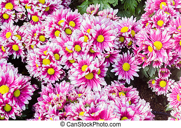 Chrysanthemums flowers background
