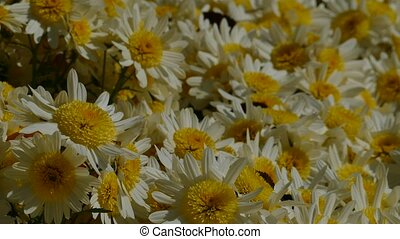 Beautiful flowers of chrysanthemums for adv or others...