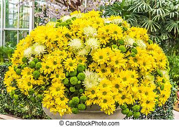 Beautiful flowers of chrysanthemums