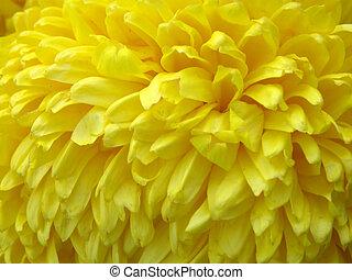 flowers of chrysanthemums