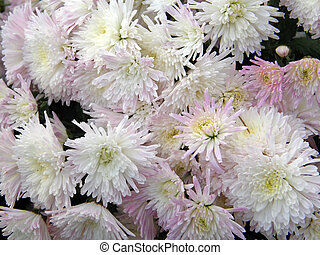flowers of chrysanthemums - Beautiful flowers of...
