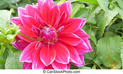 Beautiful flowers of gerbera in the garden soft blur background.