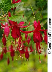 Beautiful flowers of Hardy fuchsia (hummingbird, Fuchsia magellanica) cultivated in a tropical garden, closeup, details