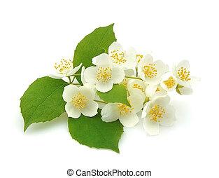 beautiful flowers of jasmine on the white