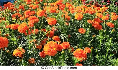 beautiful flowers of marigolds marigolds and asters in the...