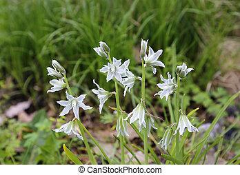 Beautiful flowers of Ornithogalum Nutans - Beautiful spring...