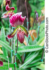 Beautiful flowers of Paphiopedilum orchid