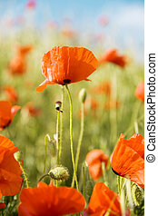 Beautiful flowers of red poppy