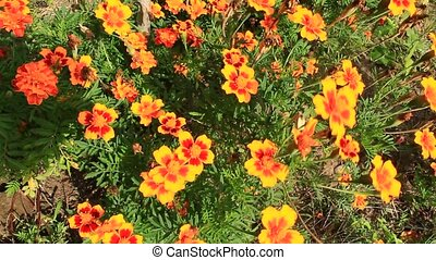 beautiful flowers of tagetes