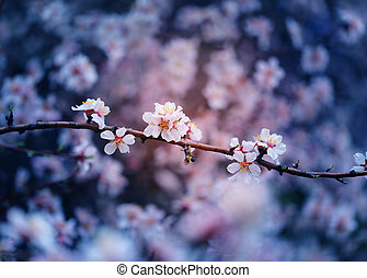 Beautiful flowers on apricot trees in Armenia photographed
