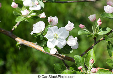 Beautiful flowers on the fruit tree in spring
