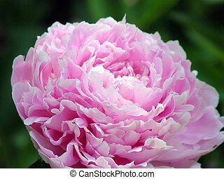 flowers. Peonies - Beautiful flowers. Peonies