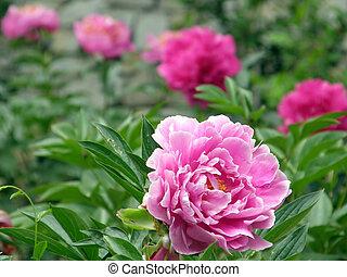 flowers. Peonies