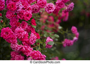 Beautiful flowers pink roses on the sun