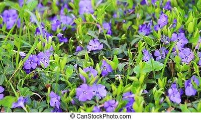 beautiful flowers Vinca sway in the wind, change of season,...