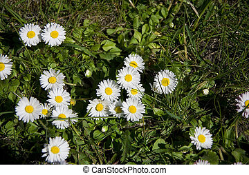 flowers white daisies growing on a spring green meadow in close-up