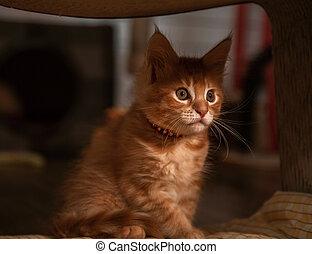 Beautiful fluffy bright red orange maine coon baby kitten ...