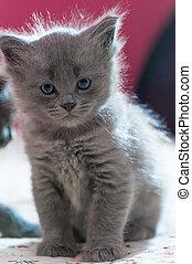 beautiful fluffy gray kitten looking at the camera