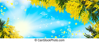Beautiful fluffy mimosa flowers panorama background. Blooming spring mimosa tree nature over blue sky and sun. Greeting card template. Shallow depth