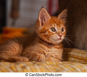 Beautiful fluffy multi bright red orange maine coon baby ...